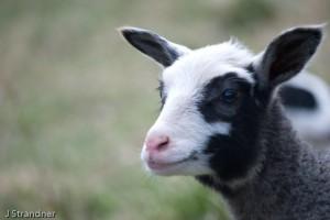 Ett av årets lamm